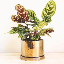 Maceta cilíndrica cobre + Planta Calathea
