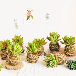 Kokedama de planta suculenta